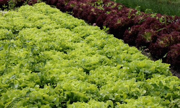 Salat ist gesund, wirkt sättigend und enthält kaum Kalorien.  ©uschi dreiucker / PIXELIO