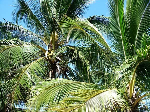 Der aus dem Nektar des Blütenstandes der Kokospalme gewonnen Kokosblütenzucker trumpft mit einem relativ niedrigen Glykämischen Index auf. © Carlosh / pixelio.de